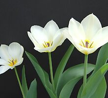 Trio of White Tulips by gurineb