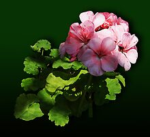 Flowers - Pale Pink Geranium by Susan Savad