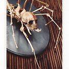 spider skeleton taxidermy mount
