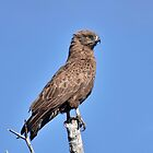 Brown Snake Eagle by Karine Radcliffe
