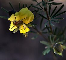 Beetle on Native Pea by Ian English