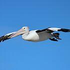 Pelican in Flight by Chris Kean