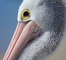 Pelican by Chris Kean