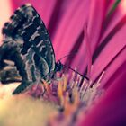 Butterfly by DavidCucalon