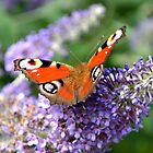 Peacock Butterfly with wings spread while sitting on Buddlej by Scott Lyons