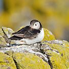 Resting Puffin by Margaret S Sweeny