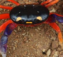 LandCrab Sticker