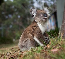 Koala in the Backyard by jamjarphotos