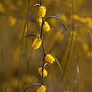 Graceful wattle (acacia) by Celeste Mookherjee