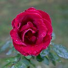 Dark Red Rose by DavidHintz