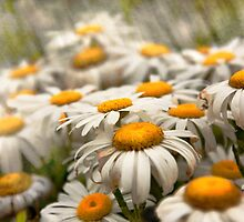 Flower - Daisy - Not quite fresh as a daisy by Mike  Savad