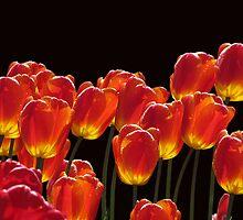 Tulips by Irina777