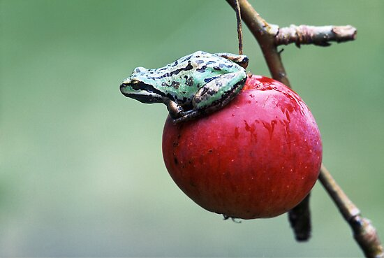 Pacific Tree Frog On A Crab Apple by printscapes