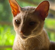 Master Yoda the Cornish Rex by Odille Esmonde-Morgan