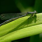 Blue-tailed Damselfly Female by sunshine65