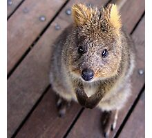 Quokka - Well hello there Photographic Print