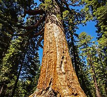 Grizzly Giant Sequoia - Mariposa Grove - Yosemite - California - USA by TonyCrehan