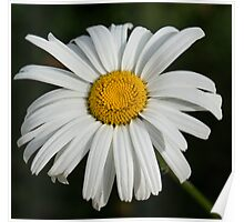 Just a Daisy Poster