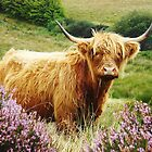 Highland Cow on Exmoor by SarahJanesCards