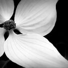 The Delicate Lines of Dogwood by paintingsheep