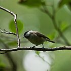 Marsh Tit by VoluntaryRanger