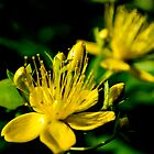 St John's Wort by Scott Lyons