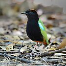 Rainbow Pitta taken Darwin Area by Alwyn Simple