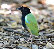 Rainbow Pitta taken at Darwin by Alwyn Simple