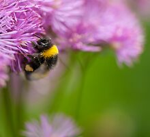 Greater Meadow-rue flower with bumblebee  by Alexander Chesham