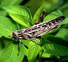 AMERICAN BIRD GRASSHOPPER by TomBaumker