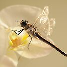 Dragonfly luck by Trudi Hipworth