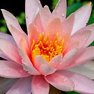 Water Lily by imagetj