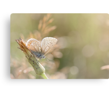 Sunbathing butterfly... Canvas Print