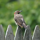 Northern Flicker by Lorelle Gromus