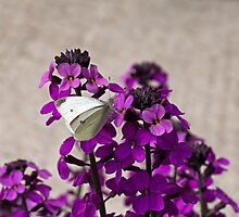 Small White Butterfly by Sue Robinson
