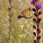 Monarch on the Prairie by lorilee