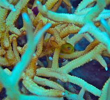 CORAL GOBY by NICK COBURN PHILLIPS