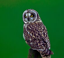 Short Eared Owl by PaulScoullar