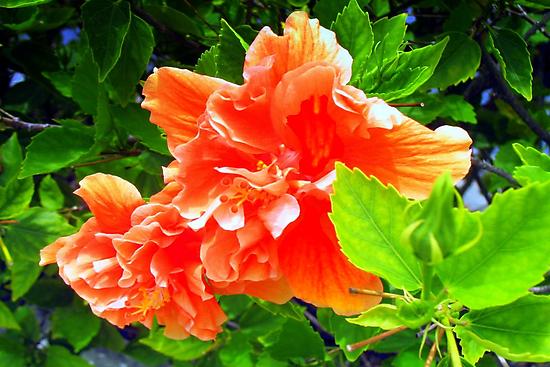 Bright hibiscus bough by ♥⊱ B. Randi Bailey