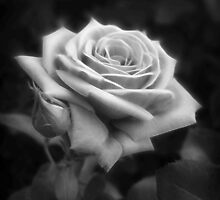 Pink Roses in Anzures 3 B&W by Christopher Johnson