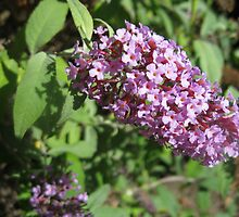 Buddleia Blossom by BlueMoonRose