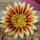 Gorgeous Gazania by Penny Smith