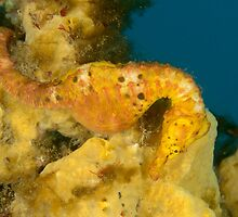 Female Pot-Bellied Seahorse - Hippocampus abdominalis by Andrew Trevor-Jones