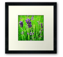 A Little Bit of Lavender in a Sea of Green Framed Print