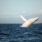 Show Off - Migaloo the white whale by Jenny Dean