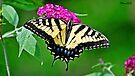 Butterfly by Caleb Ward