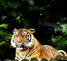Sumatran Tiger by rosepetal2012