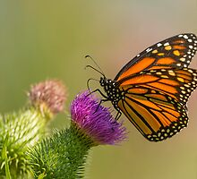 Monarch and Thistle by Thomas Young