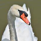 Adult Swan by Kathy Baccari