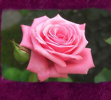 Pink Roses in Anzures 4 Blank P8F0 by Christopher Johnson
